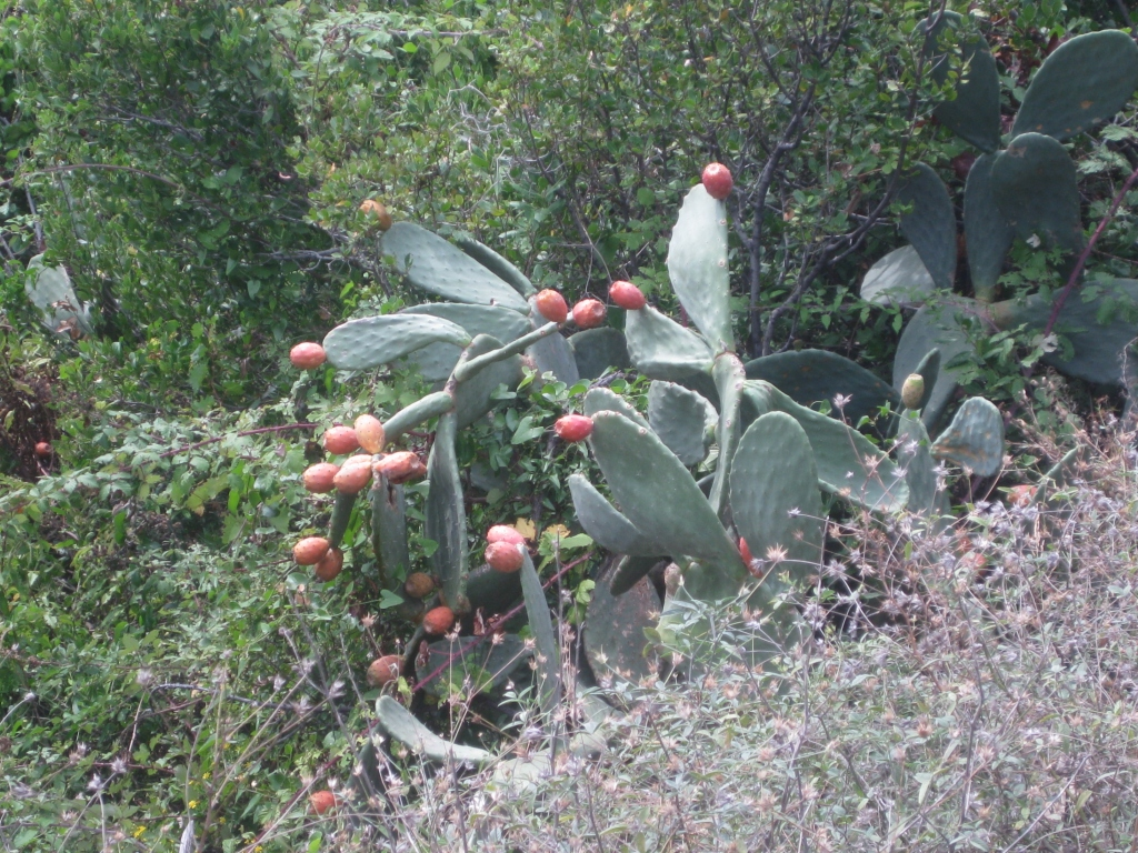 Prickly pear on the trail to Vernazza