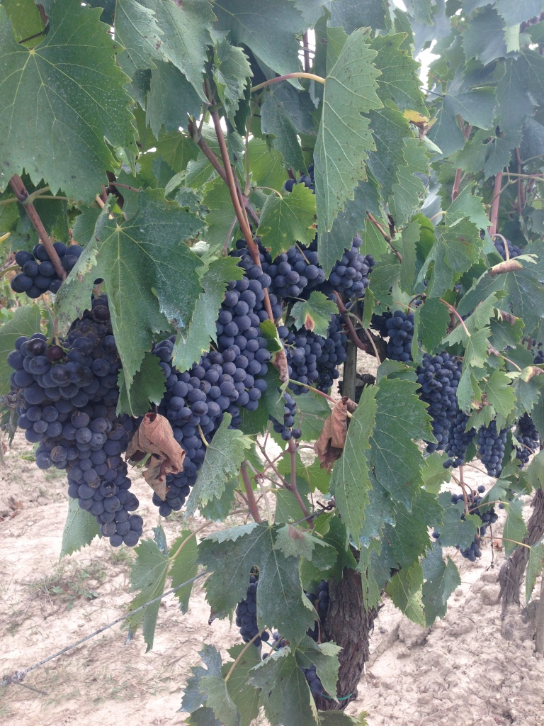 Grapes from the vineyard that I stole a taste of