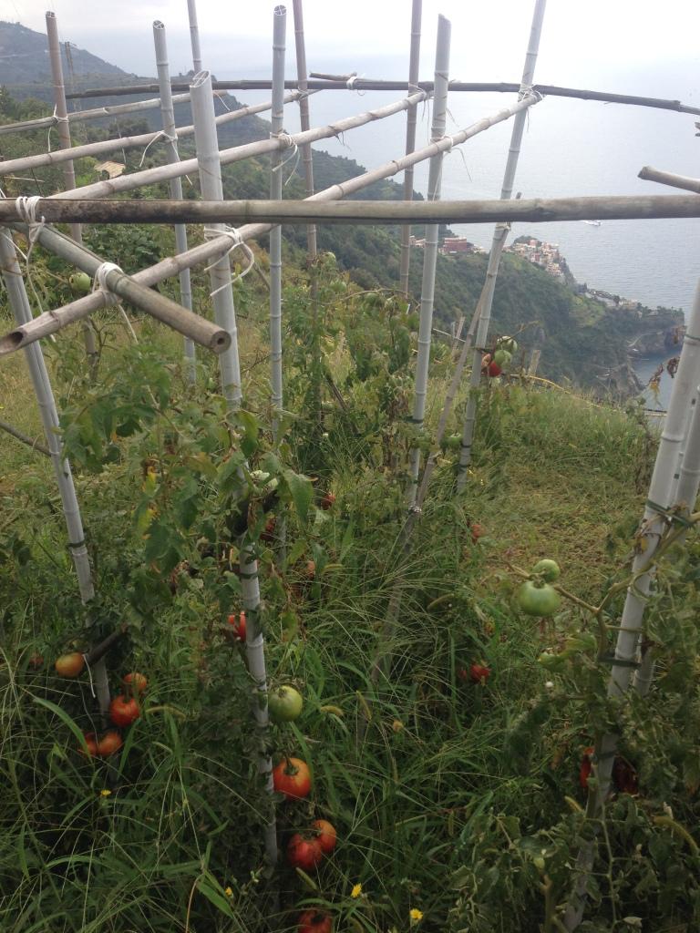 Tomatoes along the trail to Cornelia
