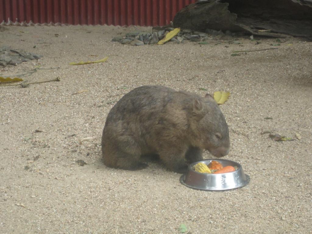 Tonka the wombat