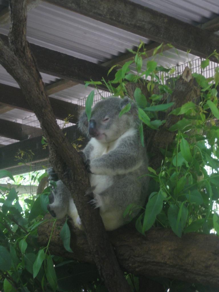 This koala has zero time for you