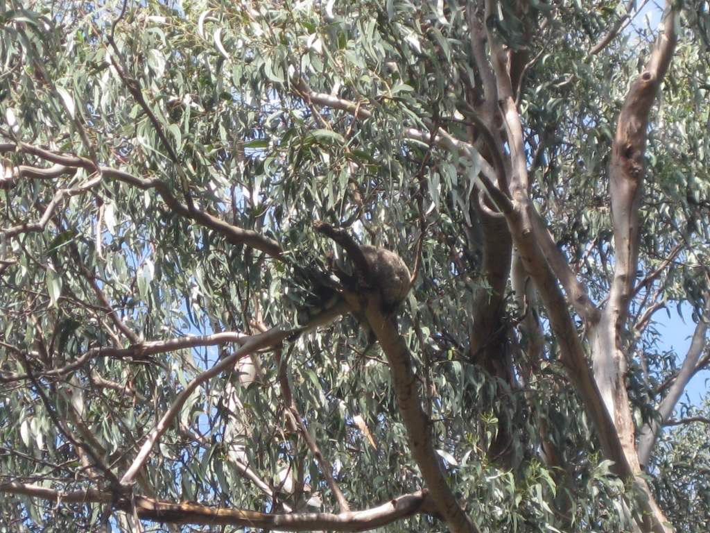 Kennett River - a popular spot for koalas. A little hard to see since they're so high up!
