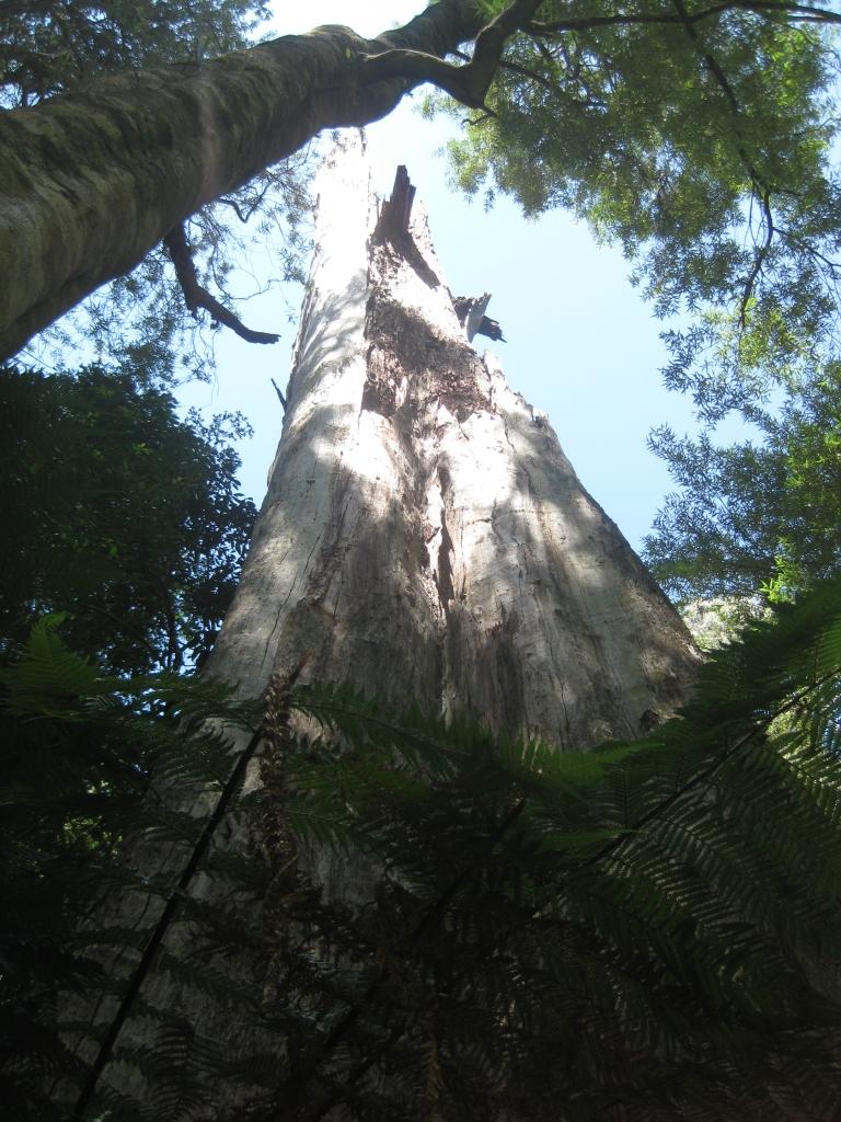 Otway Rainforest (31)