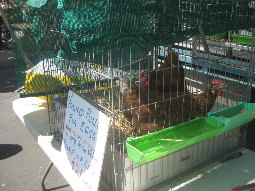 Live chickens for sale!