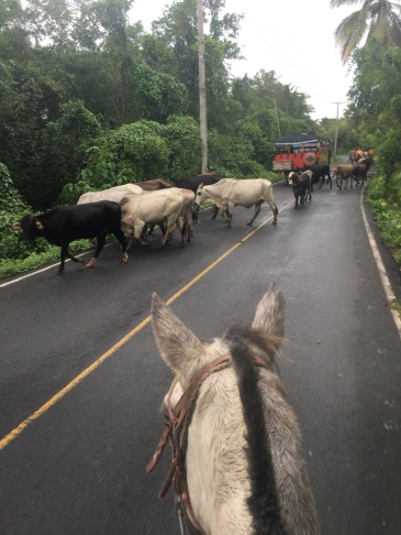 Wrangling cattle on the side of a road
