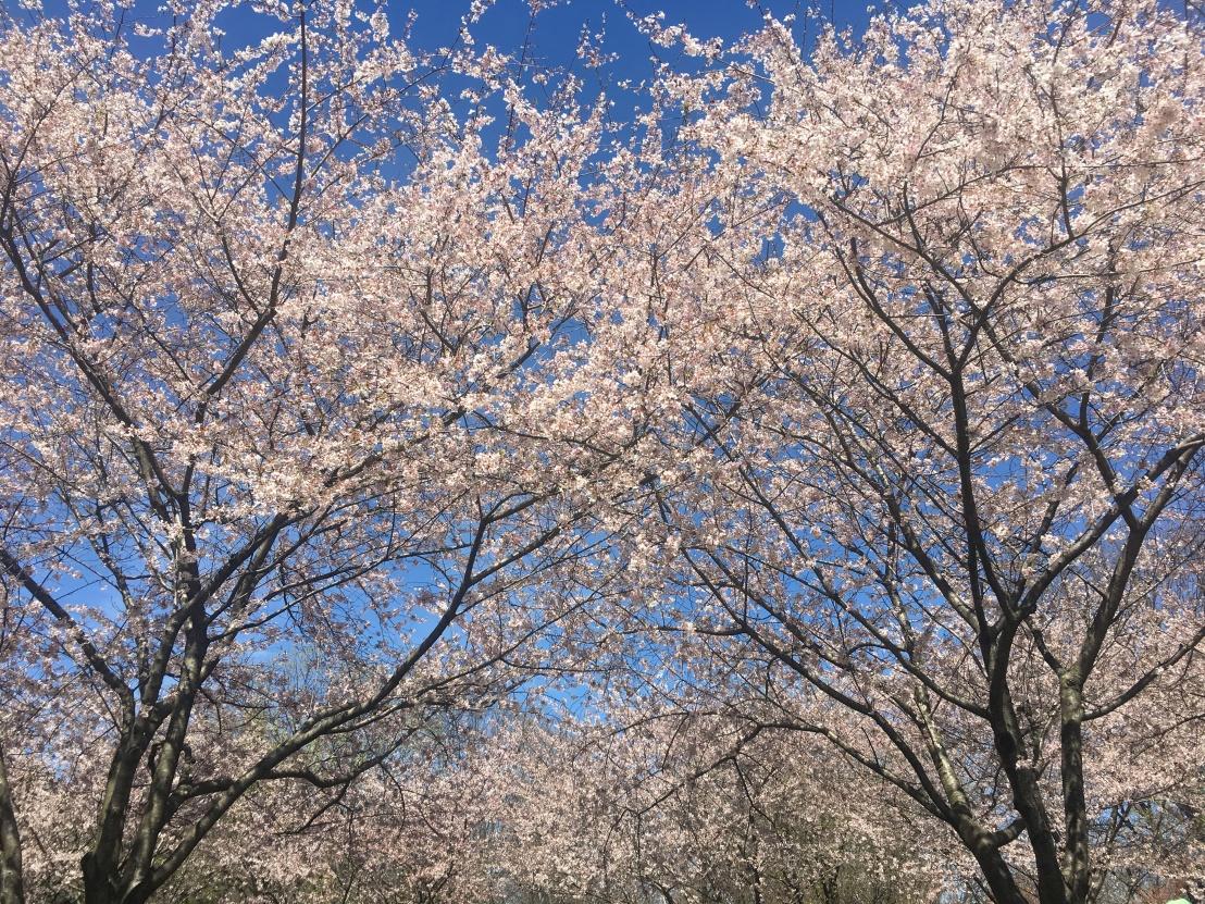Cherry Blossom Festival at Fairmount Park 2